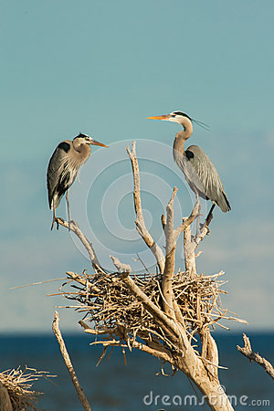 Herons At Nest