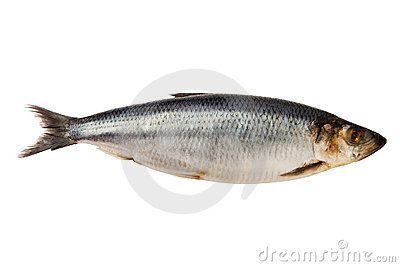 Herring fish