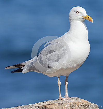 Free Herring Gull Royalty Free Stock Images - 36539059