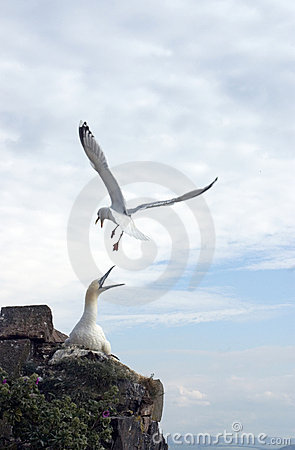 Herring Gull attacking Gannet