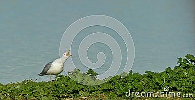 A Herring Gull calling