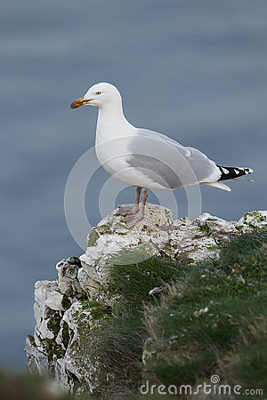 Free Herring Gull, Larus Argentatus Royalty Free Stock Photos - 39950638