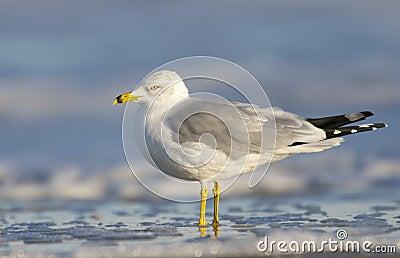 Herring Gull, Larus delawarensis argentatus