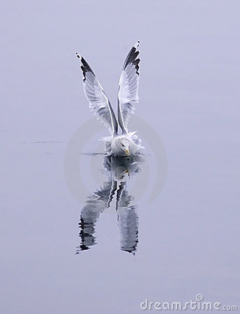 Herring gull in the water.