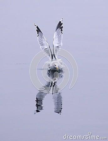 Herring gull in the water.