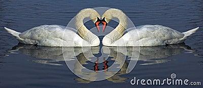 Hert of swan