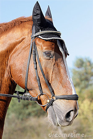 Hessian warmblood horse