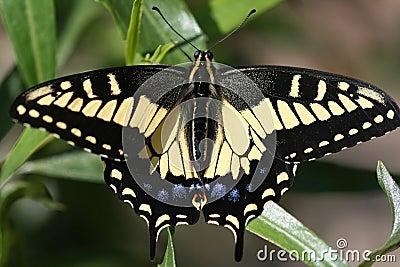 Het Art. van een Swallowtail