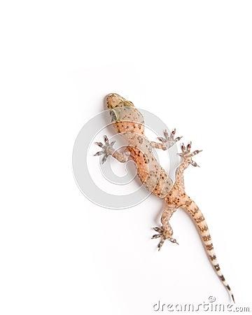Het beklimmen van de gekko