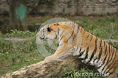 Het besluipen van de tijger