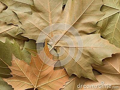 Het bladachtergrond van de esdoorn