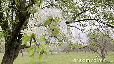 Het bloeien van perenbomen in de lente op de winddag Bloedsomboom met witte bloemen stock video