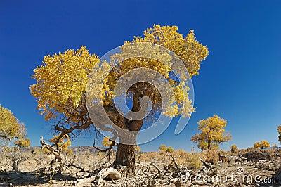 Het Bos van Euphratica van Populus