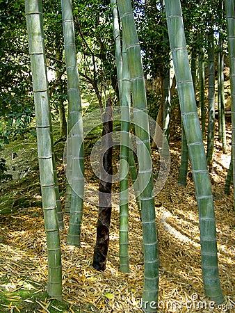 Het bos van het bamboe