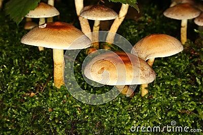 Het Bosje van de zwavel (Hypholoma fasciculare)