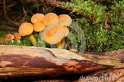 Het bosjepaddestoel van de naaldboom