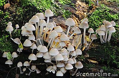 Het bosjepaddestoelen van de zwavel (Hypholoma fasciculare)