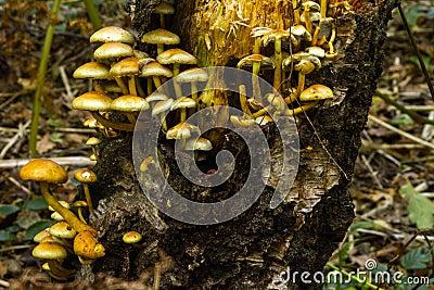 Het bosjepaddestoelen van de zwavel op een boomstomp 2