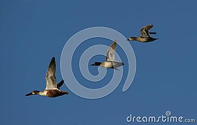 Het Canadese ganzen migreren