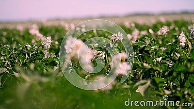 Het close-up, unsharp concentreert zich, bloeiend aardappels bleek - roze bloemenbloei op aardappelstruiken op een landbouwbedrij stock footage