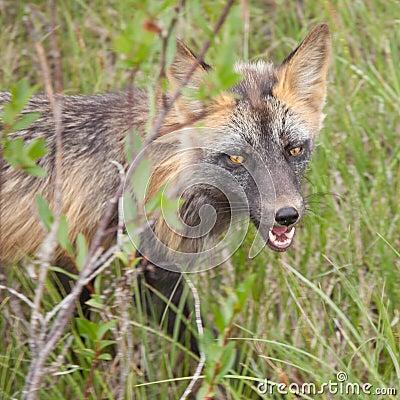 Het doordringen starende blik van een waakzame rode vossoort Vulpes