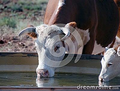 Het drinken van koeien