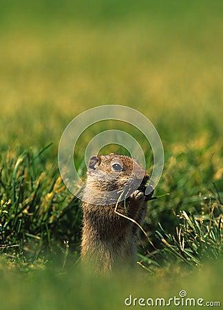 Het Eten van de Eekhoorn van de Grond van Uinta
