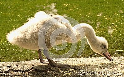 Het eten van de jonge zwaan