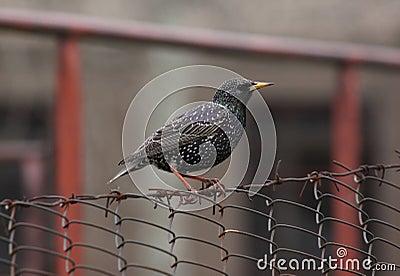 Het Europese starling