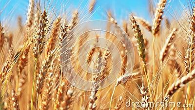 Het Gebied van de tarwe en blauwe hemel