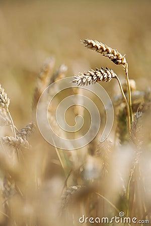 Het gewas van de tarwe op het gebied