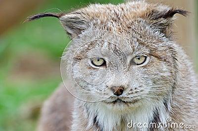 Het gezichts dichte omhooggaand van de lynx