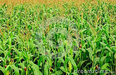 Het graanlandbouwbedrijf