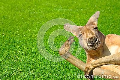 Het grappige menselijke kijken kangoeroe op een gazon