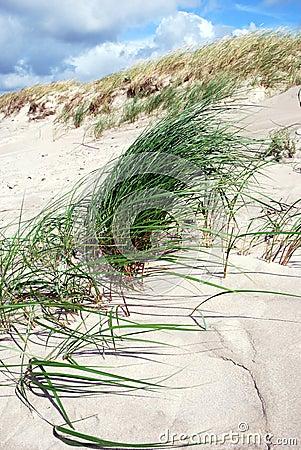 Het gras van het duin in de wind