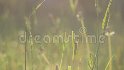 Het grasstro die zich in lichte wind in zonlicht bewegen, gloed, sluit omhoog, groene vage achtergrond, avond, 4K 3840 x 2160 ult stock videobeelden