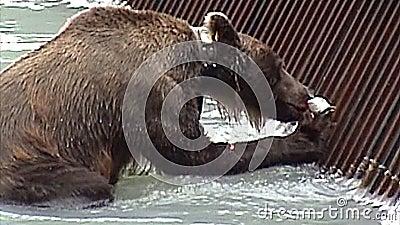 Het grijze eten van Alaska stock video