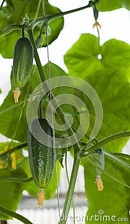 Het groeien van komkommers