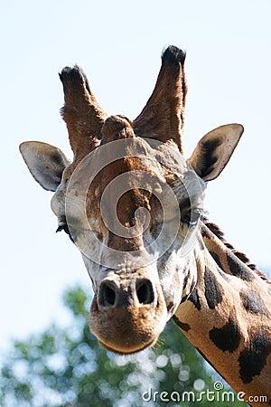 Het hoofd staren van de giraf bij camera.