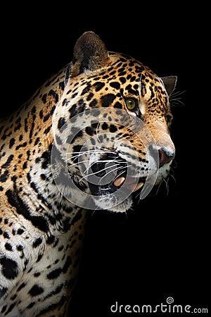 Het hoofd van de jaguar in geïsoleerdeo duisternis,