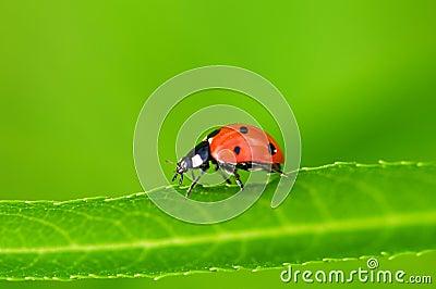 Het insect van de dame