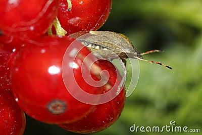 Het insect van de ouder op de rode aalbessen