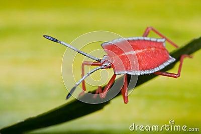 Het insect van het schild/stinkt insectennimf