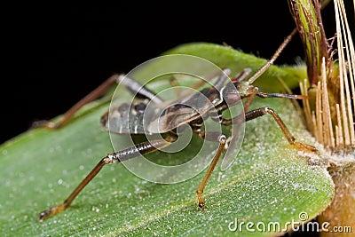Het insect van Mirid/van het installatieinsect het zuigen bamboesap