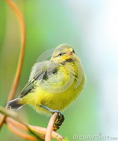 Het jonge vogeltje Blauwe van de Mees (caeruleus Cyanistes).
