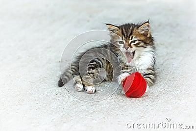 Het katje van de mijnwasbeer het spelen