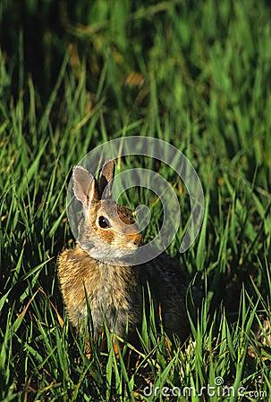 Het Konijn van het katoenstaartkonijn in Gras