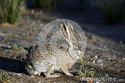 Het Konijn van het Katoenstaartkonijn van de woestijn, audubonii Sylvilagus