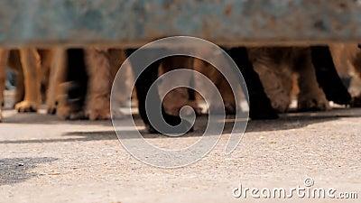 Het lage hoekschot van honden handtastelijk wordt het lopen bij de omheining in schuilplaats, wachtend om aan nieuw huis worden g stock videobeelden