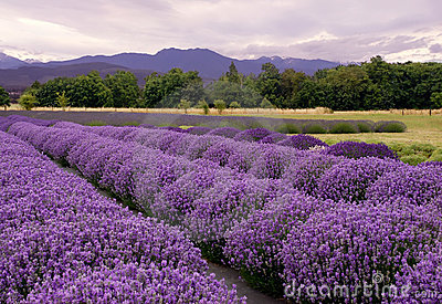 Het landschap van de lavendel